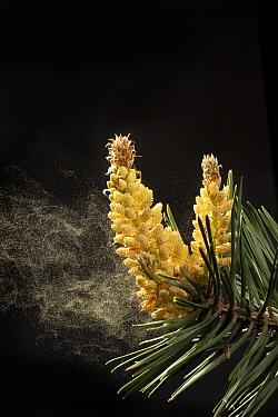 Lodgepole Pine (Pinus contorta) dispersing pollen through wind, western Oregon  -  Michael Durham