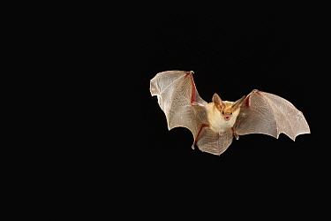 Pallid Bat (Antrozous pallidus) flying at night, Washington  -  Michael Durham