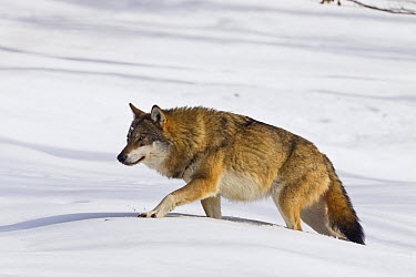 European Wolf (Canis lupus) walking through snow, Bavarian Forest National Park, Germany  -  Konrad Wothe