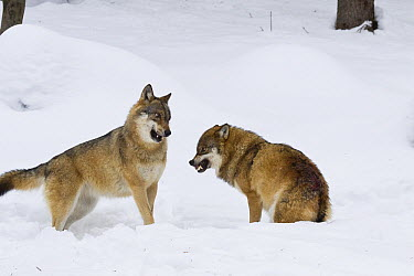European Wolf (Canis lupus) pair fighting with one baring teeth, Bavarian Forest National Park, Germany  -  Konrad Wothe