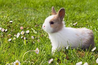 European Rabbit (Oryctolagus cuniculus) domesticated variety amid daisies, Bavaria, Germany  -  Konrad Wothe