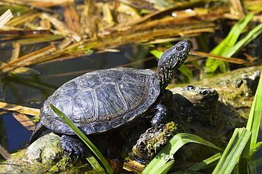 European Pond Turtle (Emys orbicularis) sunbathing, Europe  -  Konrad Wothe