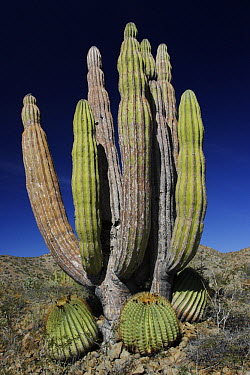Cardon (Pachycereus pringlei) cactus with other cacti at base, Santa Catalina Island, Sea of Cortez, Mexico  -  Hiroya Minakuchi