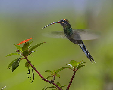 Green Hermit (Phaethornis guy) hummingbird hovering hear Impatiens flower, Ecuador  -  Tim Fitzharris