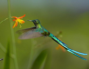 Long-tailed Sylph (Aglaiocercus kingi) hummingbird feeding on flower, Ecuador  -  Tim Fitzharris