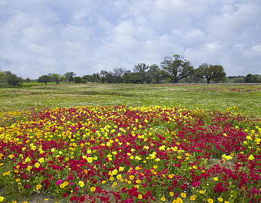Drummond's Phlox (Phlox drummondii) and Evening Primrose (Oenothera sp) near Leming, Texas  -  Tim Fitzharris