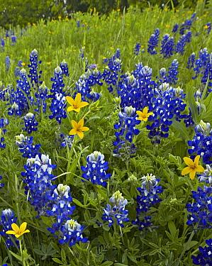 Bluebonnet (Lupinus subcarnosus) and Texas Yellowstar (Lindheimera texana) meadow, Cedar Hill State Park, Texas  -  Tim Fitzharris