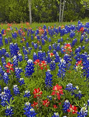 Bluebonnet (Lupinus subcarnosus) and Paintbrush (Castilleja sp) meadow, Cedar Hill State Park, Texas  -  Tim Fitzharris