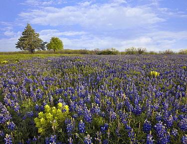 Bluebonnet (Lupinus subcarnosus) and Lemon Paintbrush (Catilleja purpurea) meadow near Albany, Texas  -  Tim Fitzharris