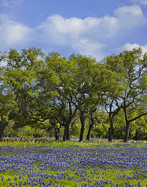 Bluebonnet (Lupinus subcarnosus) field at edge of forest, Texas  -  Tim Fitzharris