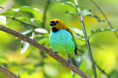 Gilt-edged Tanager (Tangara cyanoventris) perching on branch, endemic species, Rio de Janeiro, Brazil
