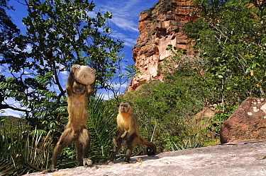 Brown Capuchin (Cebus apella) using rock to crack open nuts while juvenile watches, Piaui State, Brazil