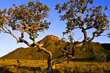 Cerrado habitat with tree, fire resistant savannah scrubland, prone to burning from lightning strikes, Jalapao State Park, Brazil