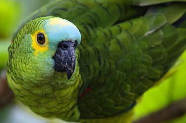 Blue-fronted Parrot (Amazona aestiva) portrait, Bodoquena Plateau, Brazil