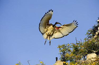 Sacred Ibis (Threskiornis aethiopicus) landing in tree, Montagu, South Africa
