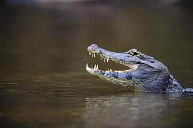 Jacare Caiman (Caiman yacare) with open mouth, Pantanal, Brazil