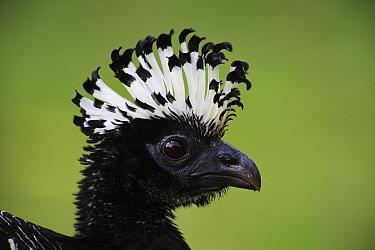 Bare-faced Curassow (Crax fasciolata) female, Pantanal, Brazil