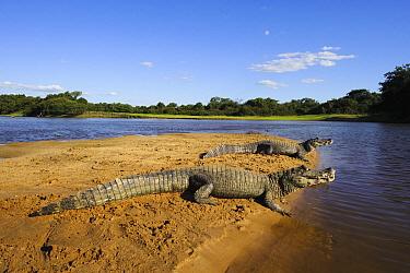 Jacare Caiman (Caiman yacare) sunning on sandbar, Pantanal, Brazil