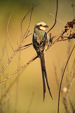 Streamer-tailed Tyrant (Gubernetes yetapa), Emas National Park, Goias State, Brazil