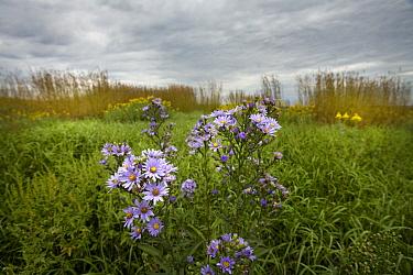 Smooth Blue Aster (Symphyotrichum laeve), Minnesota  -  Jim Brandenburg