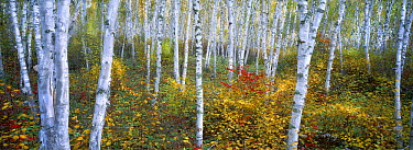Birch (Betula costata) grove in autumn, Minnesota  -  Jim Brandenburg