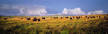 American Bison (Bison bison) herd grazing on mixed grass prairie, near Pierre, South Dakota  -  Jim Brandenburg