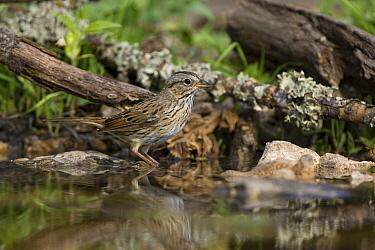 Lincoln's Sparrow (Melospiza lincolnii) at edge of pond, Red Corral Ranch, Texas  -  Suzi Eszterhas