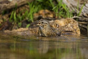 Lincoln's Sparrow (Melospiza lincolnii) bathing, Red Corral Ranch, Texas  -  Suzi Eszterhas