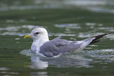 Mew Gull (Larus canus), Katmai National Park, Alaska  -  Suzi Eszterhas