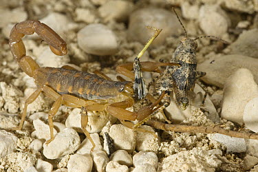 Striped Bark Scorpion (Centruroides vittatus) eating grasshopper, Red Corral Ranch, Texas  -  Suzi Eszterhas
