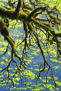 Bigleaf Maple (Acer macrophyllum) over Lake Crescent, Olympic National Park, Washington  -  Kevin Schafer