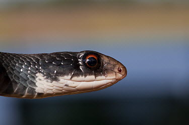Southern Black Racer (Coluber constrictor priapus), Little St. Simon's Island, Georgia  -  Pete Oxford