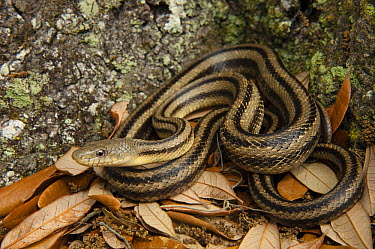 Eastern Rat Snake (Elaphe obsoleta) in leaf litter, Little St. Simon's Island, Georgia  -  Pete Oxford