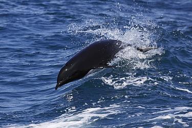 Northern Right Whale Dolphin (Lissodelphis borealis) jumping, Monterey Bay, California  -  Hiroya Minakuchi