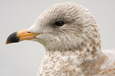 Ring-billed Gull (Larus delawarensis) juvenile, Baylands Nature Preserve, Bay Area, California  -  Sebastian Kennerknecht