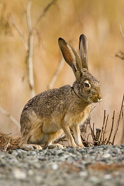 Black-tailed Jackrabbit (Lepus californicus), Don Edwards San Francisco Bay National Wildlife Refuge, Bay Area, California  -  Sebastian Kennerknecht