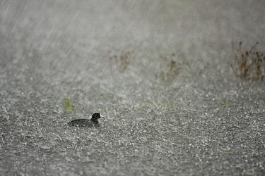 American Coot (Fulica americana) in slough during rain storm, Watsonville, Monterey Bay, California  -  Sebastian Kennerknecht