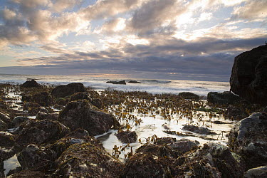 Sea Palm (Postelsia palmaeformis) clusters in the upper intertidal zone, Big Sur, California  -  Sebastian Kennerknecht