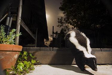 Striped Skunk (Mephitis mephitis) walking through backyard at night, Santa Cruz, Monterey Bay, California  -  Sebastian Kennerknecht