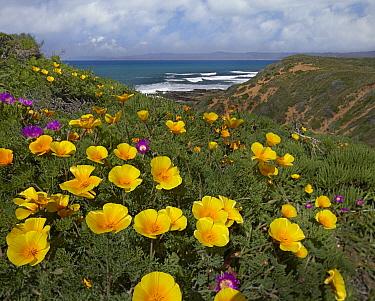 California Poppy (Eschscholzia californica) field, Montano de Oro State Park, California  -  Tim Fitzharris