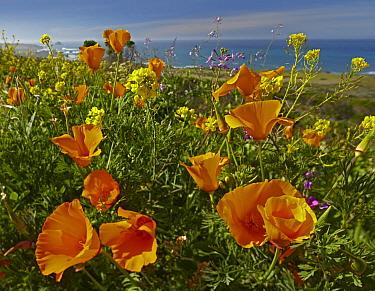 California Poppy (Eschscholzia californica) field, Big Sur Coast, California  -  Tim Fitzharris