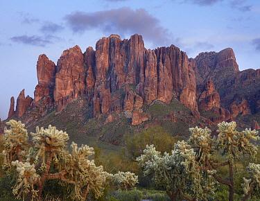 Teddy Bear Cholla (Cylindropuntia bigelovii) beneath the Superstition Mountain, Lost Dutchman State Park, Arizona  -  Tim Fitzharris