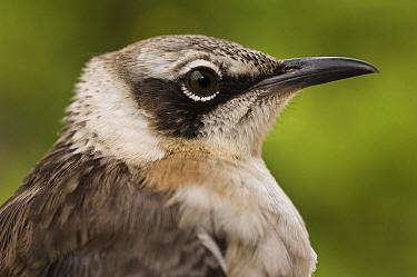 Galapagos Mockingbird (Nesomimus parvulus), Santiago Island, Galapagos Islands, Ecuador  -  Pete Oxford