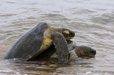 Pacific Green Sea Turtle (Chelonia mydas agassizi) pair mating, Espumilla Beach, Santiago Island, Galapagos Islands, Ecuador  -  Pete Oxford