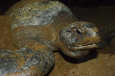 Pacific Green Sea Turtle (Chelonia mydas agassizi) female on land laying eggs, Espumilla Beach, Santiago Island, Galapagos Islands, Ecuador  -  Pete Oxford