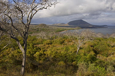 Palo Santo (Bursera graveolens) trees growing in the arid zone of Santiago Island, Galapagos Islands, Ecuador  -  Pete Oxford