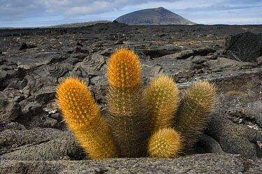 Lava Cactus (Brachycereus nesioticus) grows in an arid zone of cool lava, ash and cinder, Santiago Island, Galapagos Islands, Ecuador  -  Pete Oxford
