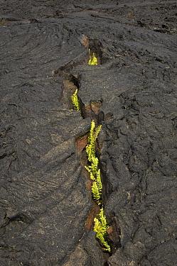Ferns growing through cool, cracked pahoehoe lava, Santiago Island, Galapagos Islands, Ecuador  -  Pete Oxford