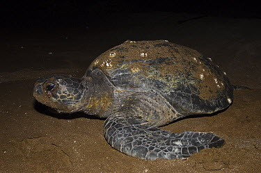 Pacific Green Sea Turtle (Chelonia mydas agassizi) female on land to lay eggs, Espumilla Beach, Santiago Island, Galapagos Islands, Ecuador  -  Pete Oxford