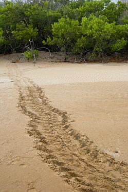 Pacific Green Sea Turtle (Chelonia mydas agassizi) tracks made by female coming up on land to lay eggs, Espumilla Beach, Santiago Island, Galapagos Islands, Ecuador  -  Pete Oxford